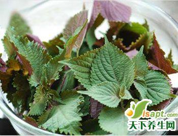 紫苏茶可以治疗冬季感冒